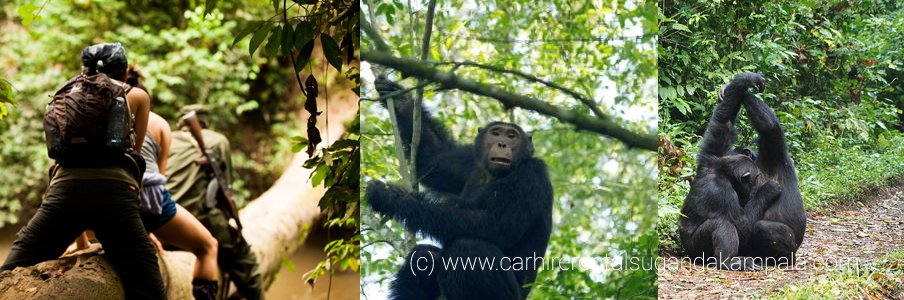 chimpanzee-trekking-in-the-Kyambura-Gorge