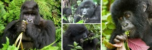 gorillas-feeding