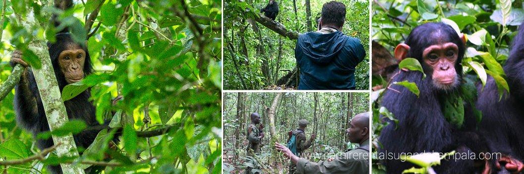 kibale chimp trekking