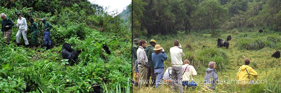 gorilla-trekking-in-volcanoes-np